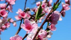 Пчела в полете Стоковое Изображение