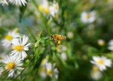 Пчела в полете Стоковые Изображения RF