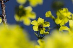 Пчела в поле лютика Стоковые Фото