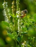 Пчела в траве на горячий день Стоковые Фотографии RF