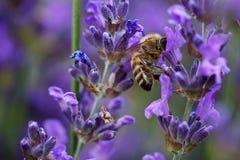 Пчела в фиолетовом цветке стоковое фото rf
