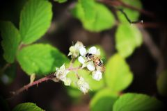 пчела в фокусе на цветке Стоковые Фотографии RF