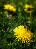Пчела в цветках одуванчика стоковая фотография