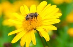 Пчела в цветке Стоковое Изображение