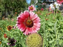 Пчела в цветке Стоковые Фото