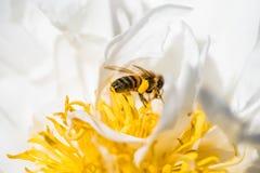 Пчела в цветке Стоковое Фото
