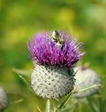Пчела в Thistle Стоковые Изображения