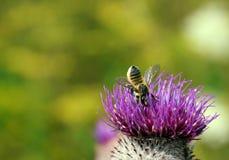 Пчела в Thistle Стоковые Фотографии RF