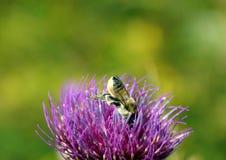 Пчела в Thistle Стоковые Фото