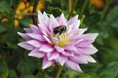 - Пчела георгина Стоковые Изображения RF