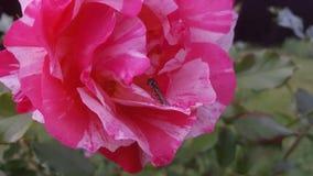 Пчела лежа на розовом подняла Стоковые Изображения RF