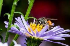 Пчела есть, всасывающ фиолетовое flower& x27; сироп s стоковое фото rf