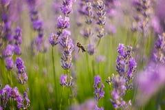 Пчела летает в лаванду Стоковая Фотография