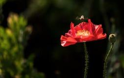 Пчела летания и мак мозоли Стоковые Фотографии RF