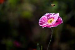 Пчела летания и мак мозоли Стоковое Фото