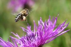 Пчела летания собирая нектар Стоковое Изображение