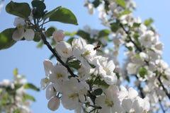 Пчела летания Стоковое Изображение