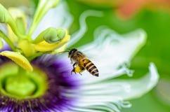 Пчела летая над цветками Стоковая Фотография