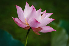 Пчела летая для того чтобы украсить дырочками цветок лотоса Стоковое Фото