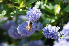 Пчела делая трудную работу весной Стоковое Изображение