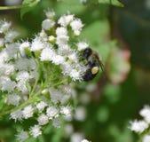 Пчела делая цветень стоковая фотография rf