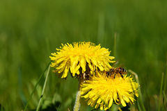Пчела извлекает мед Стоковое Фото