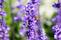 Пчела и лаванда Стоковая Фотография RF