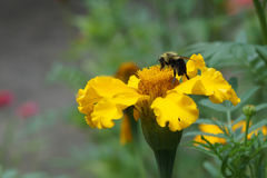 Пчела и желтый цветок Стоковые Изображения RF