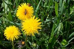 Пчела и клоп-солдатик на одном цветке Стоковые Изображения RF