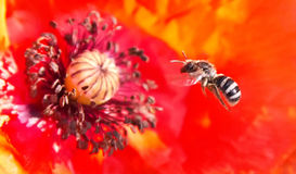 Пчела и маки Стоковое Фото