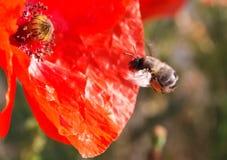 Пчела и маки Стоковые Изображения RF