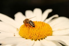 Пчела и маргаритка Стоковая Фотография