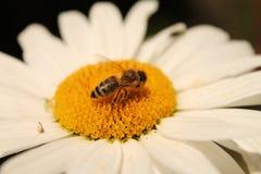 Пчела и маргаритка Стоковые Изображения