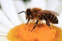 Пчела и маргаритка стоковые фотографии rf