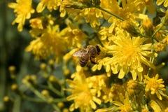 Пчела и одуванчик Стоковые Фотографии RF
