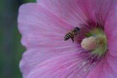 Пчела и плодолистик розового цветка Стоковые Фото