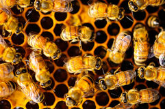 Пчела и сот Стоковые Изображения RF