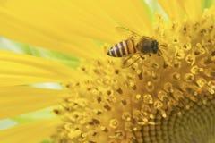 Пчела и солнцецвет Стоковые Фотографии RF