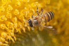 Пчела и солнцецвет Стоковые Изображения