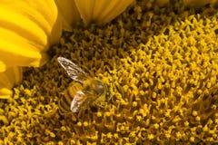 Пчела и солнцецвет Стоковые Изображения RF