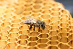 Пчела и улей меда в Таиланде Стоковая Фотография