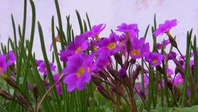Пчела и фиолетовые цветки сток-видео