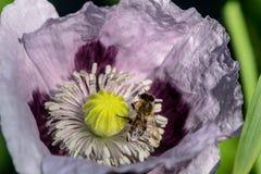 Пчела и фиолетовый мак Стоковые Изображения RF