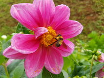 Пчела и цветки меда Стоковое Изображение RF