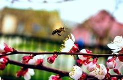 Пчела и цветки стоковое изображение rf