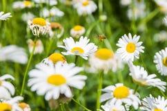 Пчела и цветки Стоковые Фотографии RF