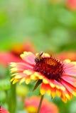 Пчела и цветок Стоковая Фотография