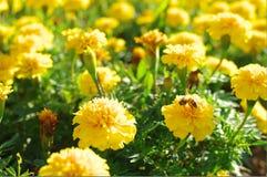 Пчела и цветок Стоковые Фото
