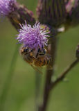 Пчела и thistle Стоковые Фото