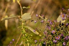 пчела колебаясь Стоковые Фото